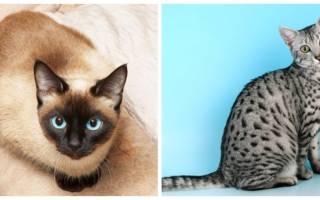 Коты долгожители породы