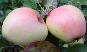 Яблоня рижский голубок
