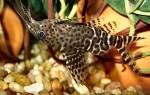 Сом перевертыш совместимость с другими рыбами