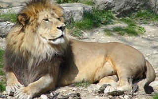 Как львы заботятся о своем потомстве