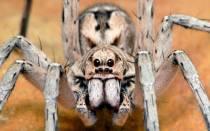 Самый ядовитый паук