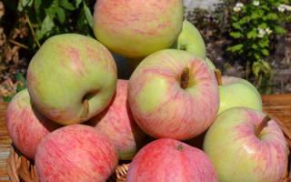 Яблоня яблочный спас описание
