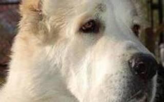 Порода собаки азиат