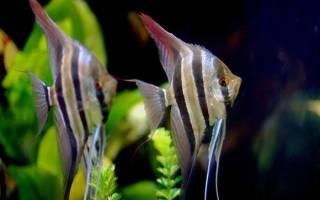 Скалярия аквариумная рыбка