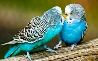 Брачный период волнистых попугаев