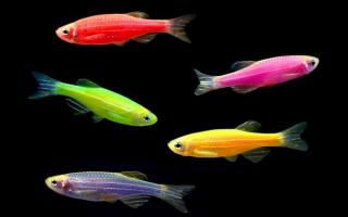 Данио рерио рыбка