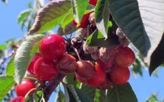 Заболевания вишни фото и его лечения