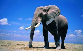 Средний вес африканского слона