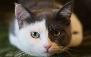 Колит у кошек симптомы