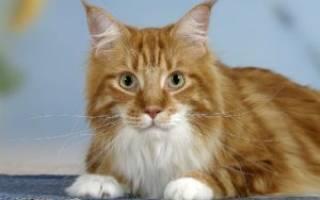 Может ли метить кастрированный кот