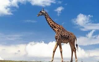 Детеныш у жирафа