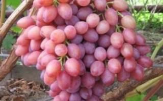 Виноград сорт Виктор