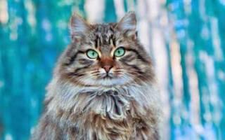 Сибирская кошка продолжительность жизни