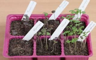 Выращивание базилика рассадой