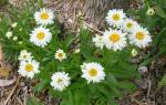 Ромашки садовые многолетние
