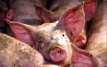 Крапивница у свиней