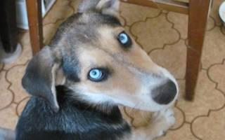 Лайки с голубыми глазами