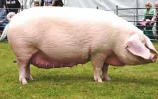 Самая крупная порода свиней