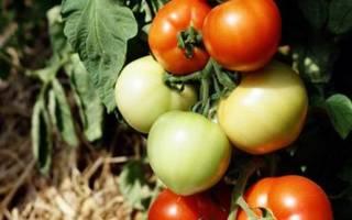 Примадонна томат отзывы фото
