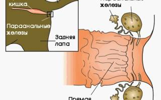 Воспаление желез у кота