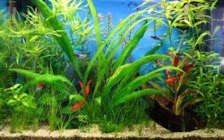 Папоротники аквариумные виды
