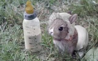 Можно ли кроликам молоко