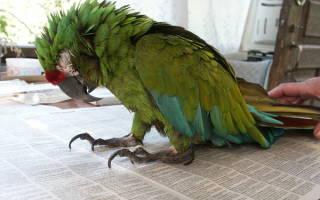 У волнистого попугая понос