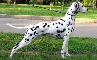 Далматинец охотничья собака