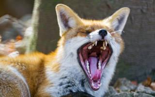 Какой звук издают лисы