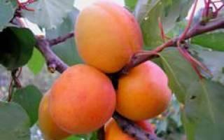 Мелитопольский ранний абрикос