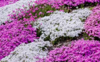 Многолетние почвопокровные цветы