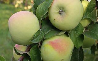 Сорт яблок мартовское