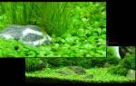 Глоссостигма аквариумное растение