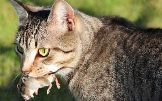 Какие кошки ловят мышей?