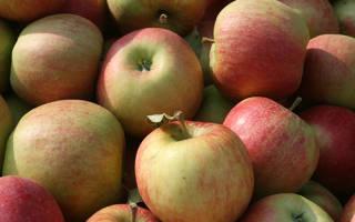 Чемпион сорт яблок