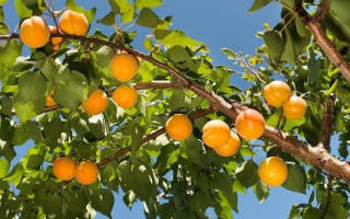Сорта абрикосов для Подмосковья