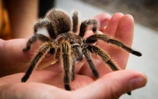 Как содержать паука в домашних условиях?