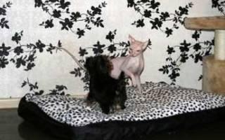 Йоркширский терьер и кот