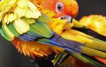 Пероед у попугаев лечение