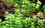 Ротала аквариумное растение фото