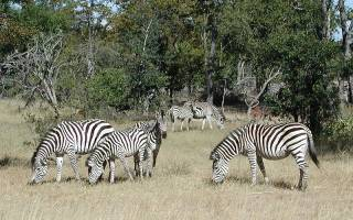 Сколько живут зебры