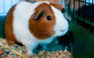 Чем кормят морских свинок в домашних условиях