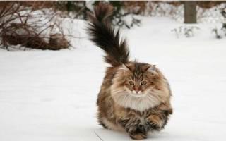 Какая порода котов самая умная