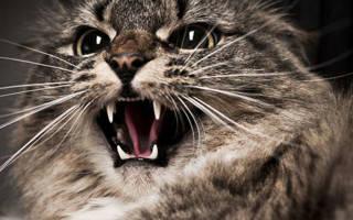 Самая агрессивная порода кошек