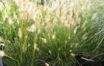Пеннисетум лисохвостный посадка и уход