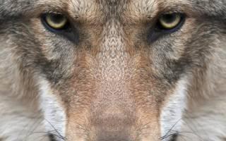 Волк и волкодав