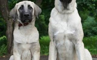 Порода собак турецкий кангал
