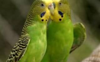 Все о волнистом попугае