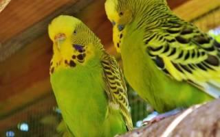 Беременный волнистый попугай