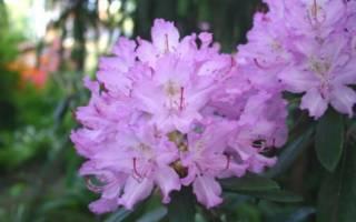 Рододендрон зимостойкий сорта